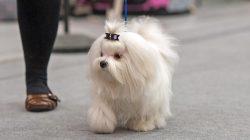 """Ze života psa: Typický den """"gaučového"""" psíka městských paniček"""