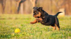 Ze života psa: Co si myslí vaše štěně?
