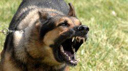 AGRESIVNÍ PES: rady a tipy, jak agresivitě předcházet