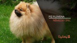 Plemena psů: NĚMECKÝ ŠPIC (video-reportáž)